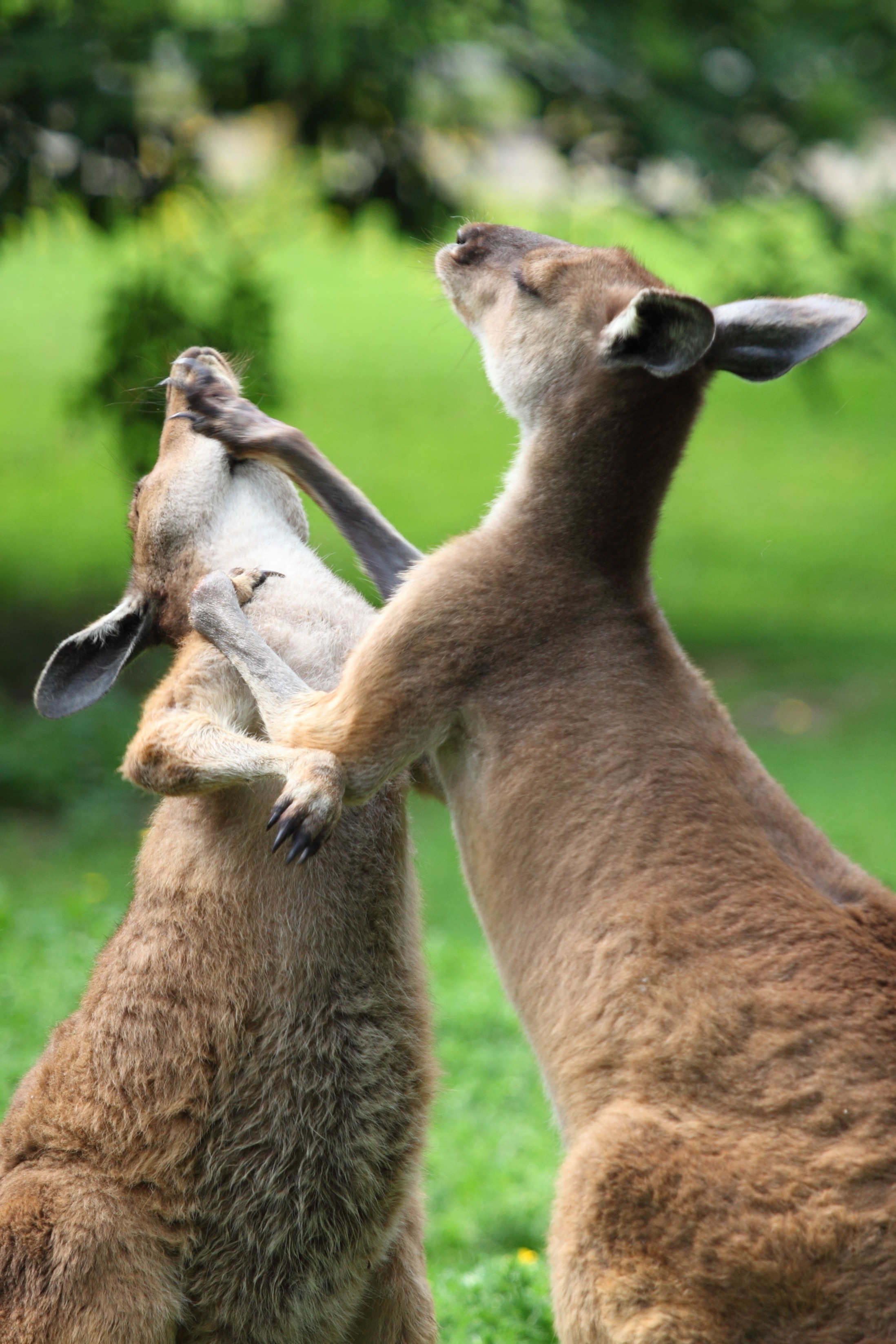 kangaroo_fight_189827